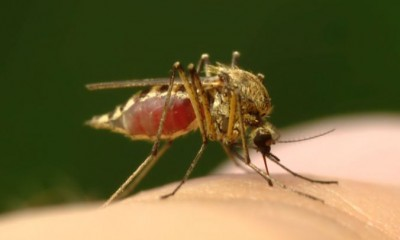 Malaria Carrying Mosquito